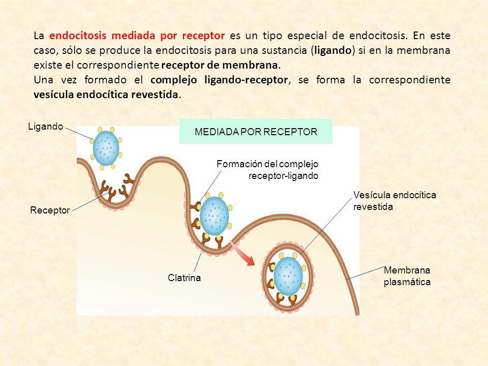 La endocitosis mediada por receptor es un tipo especial de endocitosis. En este caso, sólo se produce la endocitosis para una sustancia (ligando) si e