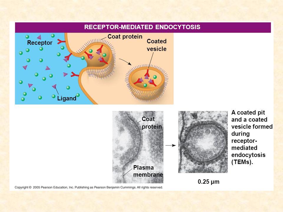 Receptor RECEPTOR-MEDIATED ENDOCYTOSIS Ligand Coated vesicle Coat protein Coat protein Plasma membrane 0.25 µm A coated pit and a coated vesicle forme