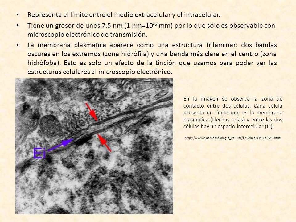 FUNCIONES DE LA MEMBRANA RECONOCIMIENTO DE LA INFORMACIÓN DE ORIGEN EXTRACELULAR Y TRANSMISIÓN AL MEDIO INTRACELULAR = TRANSDUCCIÓN DE SEÑALES.