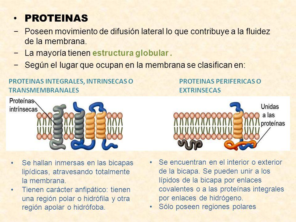 PROTEINAS Poseen movimiento de difusión lateral lo que contribuye a la fluidez de la membrana. La mayoría tienen estructura globular. Según el lugar q