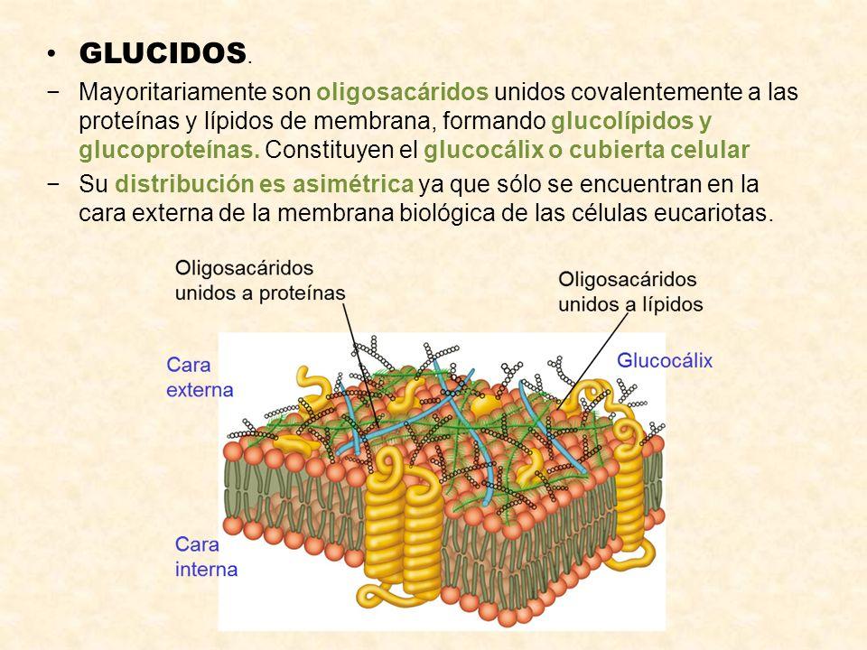 GLUCIDOS. Mayoritariamente son oligosacáridos unidos covalentemente a las proteínas y lípidos de membrana, formando glucolípidos y glucoproteínas. Con