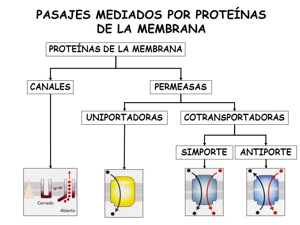 PASAJES MEDIADOS POR PROTEÍNAS DE LA MEMBRANA PROTEÍNAS DE LA MEMBRANA CANALESPERMEASAS UNIPORTADORAS COTRANSPORTADORAS SIMPORTEANTIPORTE