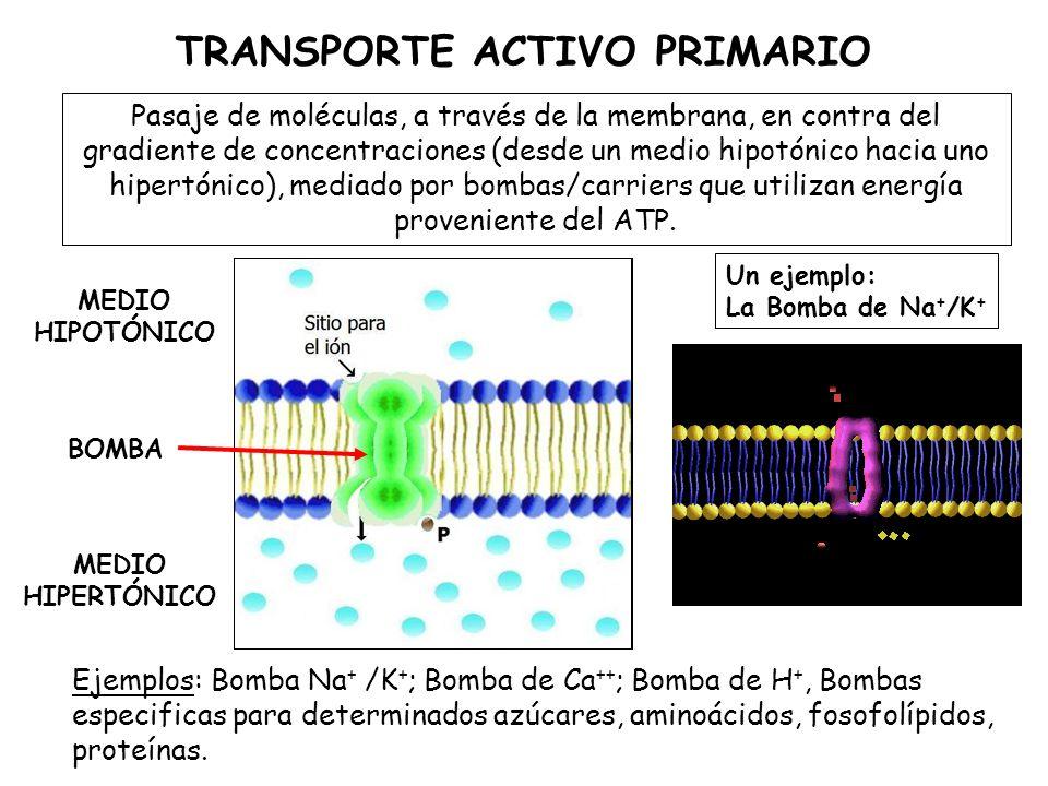 TRANSPORTE ACTIVO PRIMARIO Pasaje de moléculas, a través de la membrana, en contra del gradiente de concentraciones (desde un medio hipotónico hacia uno hipertónico), mediado por bombas/carriers que utilizan energía proveniente del ATP.