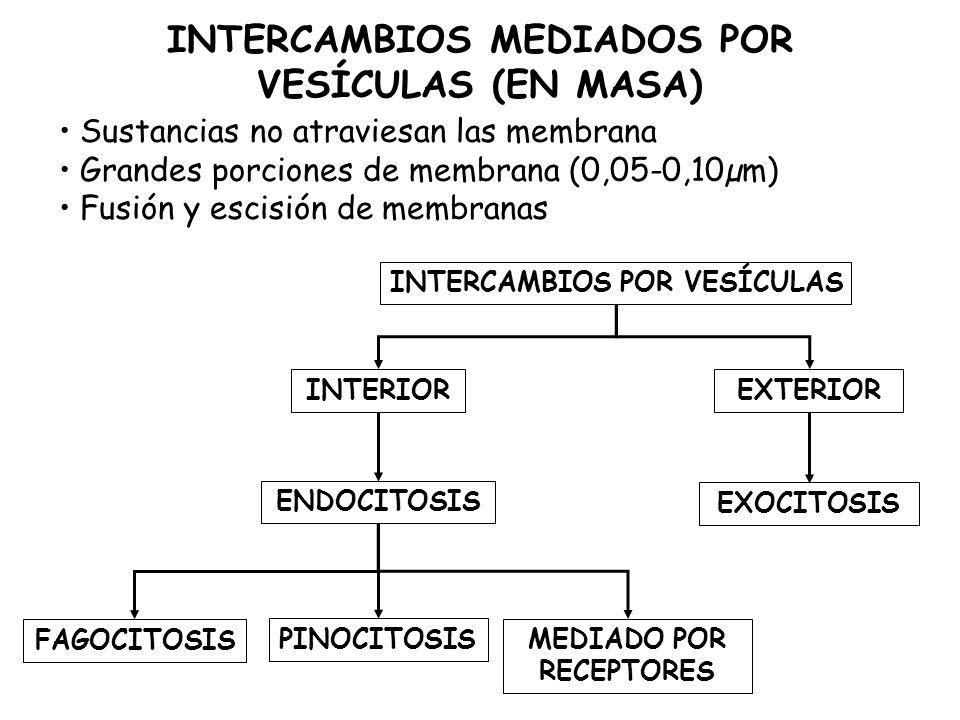 INTERCAMBIOS MEDIADOS POR VESÍCULAS (EN MASA) Sustancias no atraviesan las membrana Grandes porciones de membrana (0,05-0,10µm) Fusión y escisión de membranas INTERCAMBIOS POR VESÍCULAS INTERIOREXTERIOR PINOCITOSIS MEDIADO POR RECEPTORES EXOCITOSIS FAGOCITOSIS ENDOCITOSIS