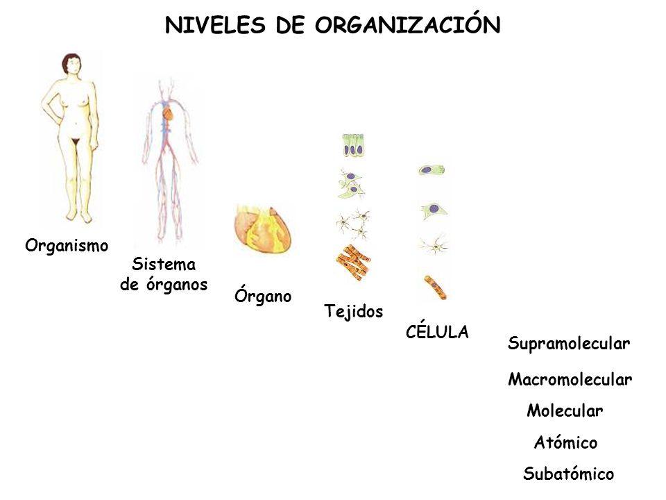 Organismo Sistema de órganos Órgano Tejidos NIVELES DE ORGANIZACIÓN CÉLULA Supramolecular Macromolecular Molecular Subatómico Atómico