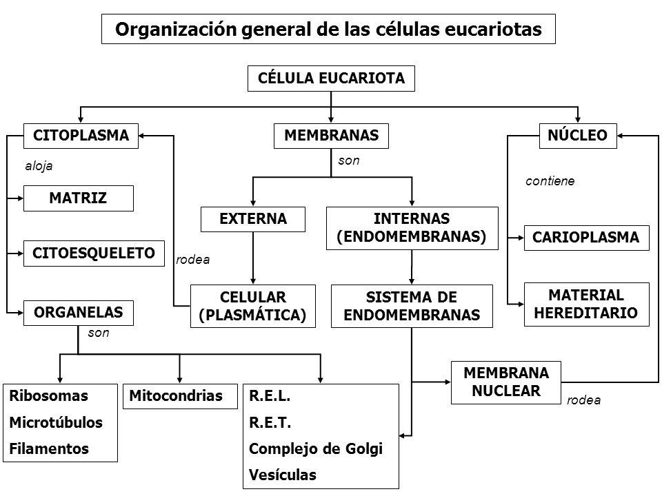 Organización general de las células eucariotas CÉLULA EUCARIOTA NÚCLEOCITOPLASMAMEMBRANAS INTERNAS (ENDOMEMBRANAS) MEMBRANA NUCLEAR EXTERNA SISTEMA DE ENDOMEMBRANAS CELULAR (PLASMÁTICA) ORGANELAS R.E.L.