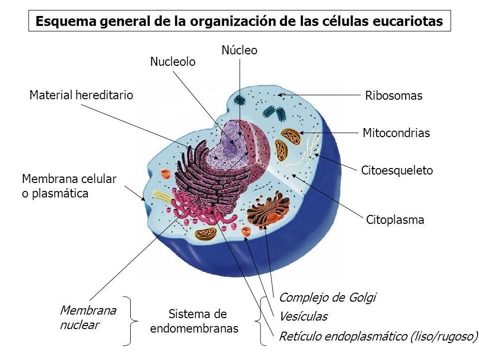 Esquema general de la organización de las células eucariotas Membrana celular o plasmática.