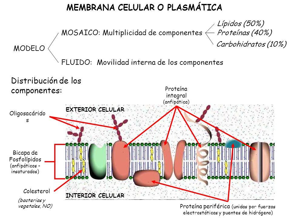 MODELO MOSAICO: Lípidos (50%) FLUIDO: Proteínas (40%) Carbohidratos (10%) Multiplicidad de componentes Movilidad interna de los componentes Distribución de los componentes: Bicapa de Fosfolípidos (anfipáticos - insaturados) Colesterol INTERIOR CELULAR..