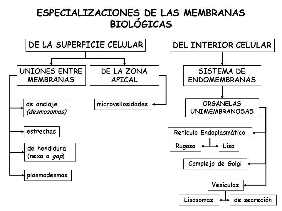 ESPECIALIZACIONES DE LAS MEMBRANAS BIOLÓGICAS Retículo Endoplasmático LisoRugoso Complejo de Golgi Vesículas DE LA SUPERFICIE CELULAR DEL INTERIOR CELULAR SISTEMA DE ENDOMEMBRANAS Lisosomasde secreción de anclaje (desmosomas) estrechas de hendidura (nexo o gap) plasmodesmos ORGANELAS UNIMEMBRANOSAS UNIONES ENTRE MEMBRANAS microvellosidades DE LA ZONA APICAL