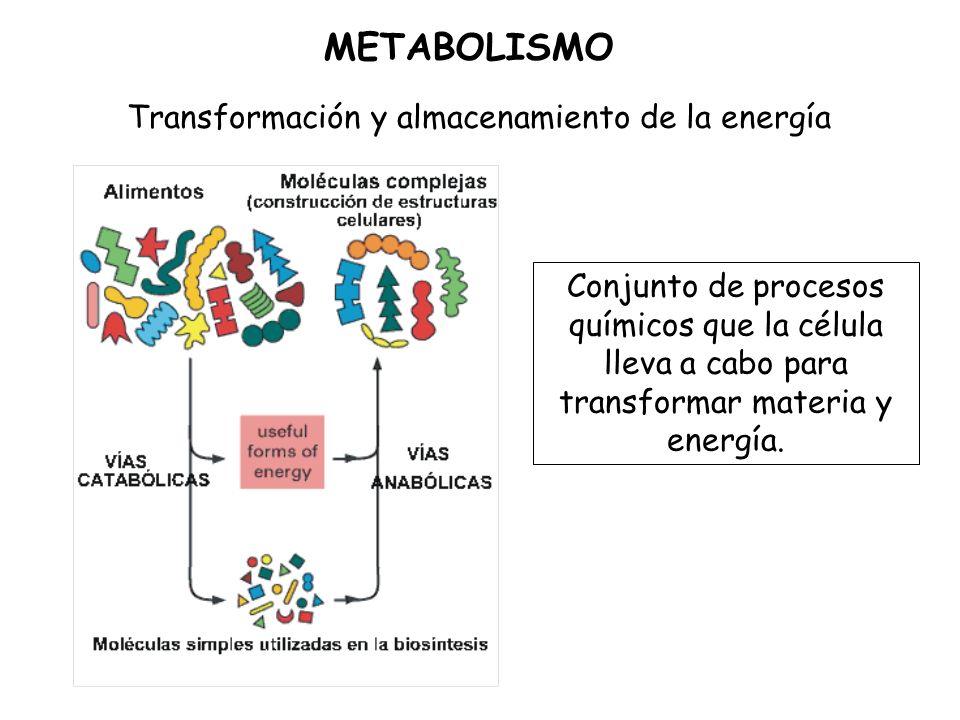 Conjunto de procesos químicos que la célula lleva a cabo para transformar materia y energía.