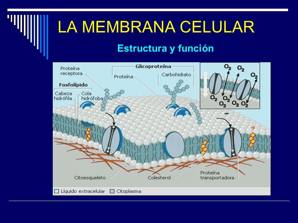 LA MEMBRANA CELULAR Estructura y función