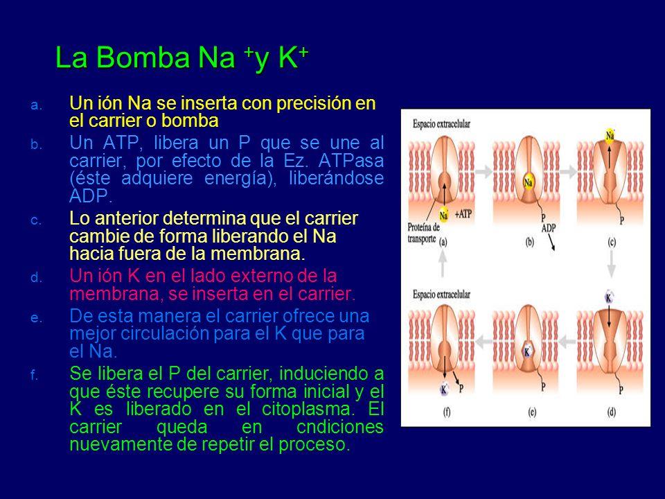 La Bomba Na + y K + La Bomba Na + y K + a. Un ión Na se inserta con precisión en el carrier o bomba b. Un ATP, libera un P que se une al carrier, por