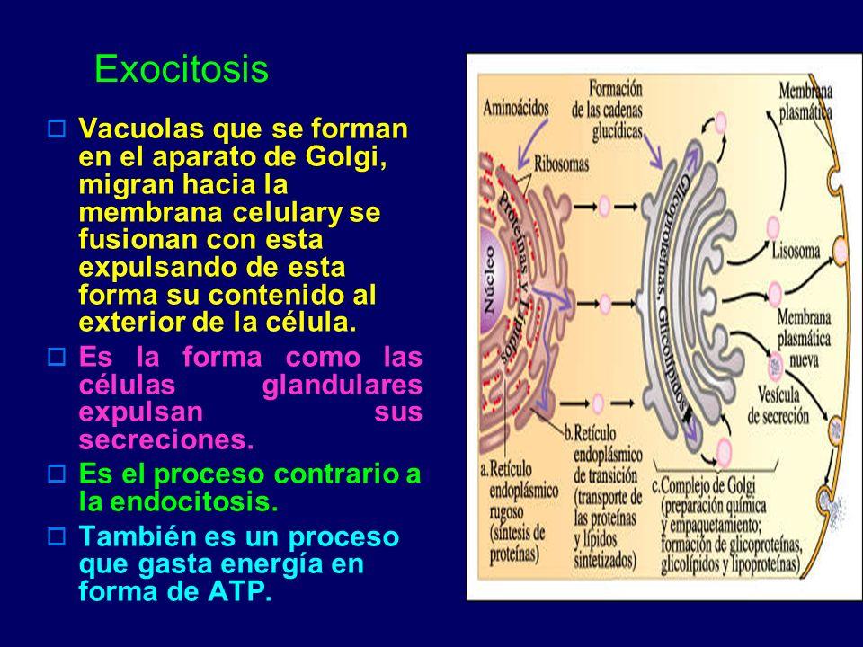 Exocitosis Vacuolas que se forman en el aparato de Golgi, migran hacia la membrana celulary se fusionan con esta expulsando de esta forma su contenido