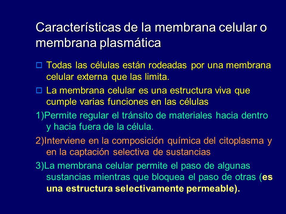 Características de la membrana celular o membrana plasmática Todas las células están rodeadas por una membrana celular externa que las limita. La memb