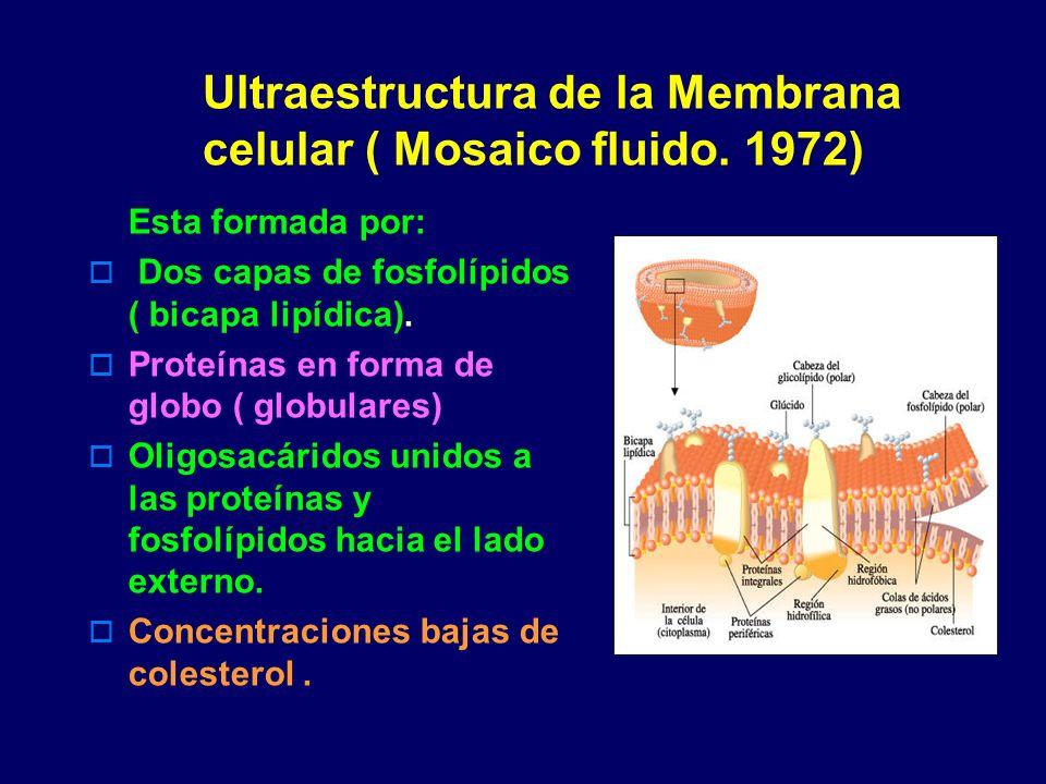 Ultraestructura de la Membrana celular ( Mosaico fluido. 1972) Esta formada por: Dos capas de fosfolípidos ( bicapa lipídica). Proteínas en forma de g
