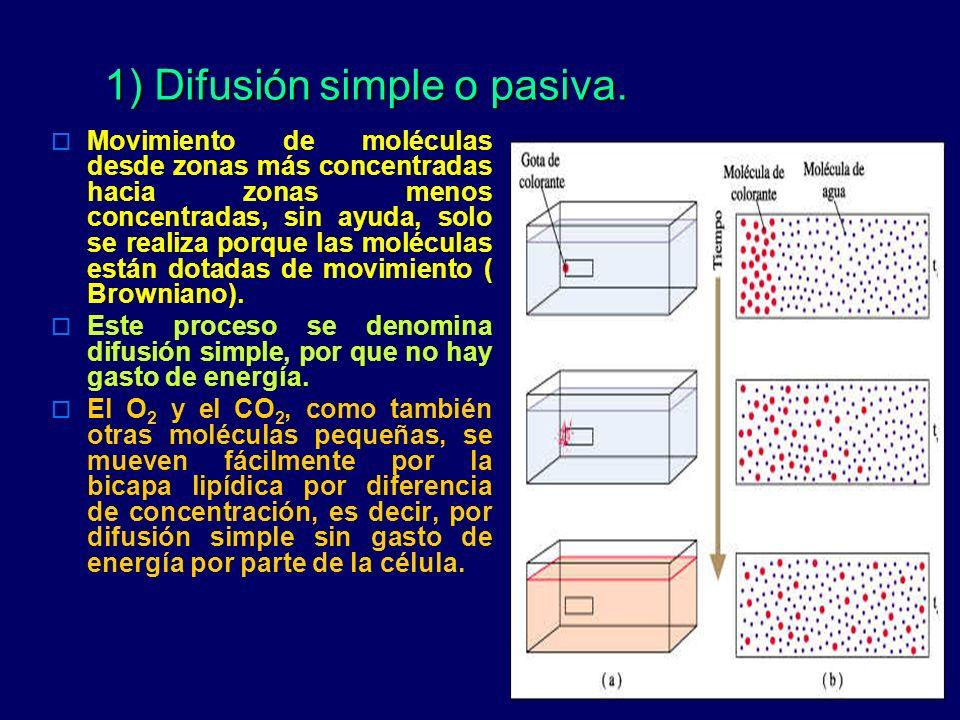 1) Difusión simple o pasiva. Movimiento de moléculas desde zonas más concentradas hacia zonas menos concentradas, sin ayuda, solo se realiza porque la