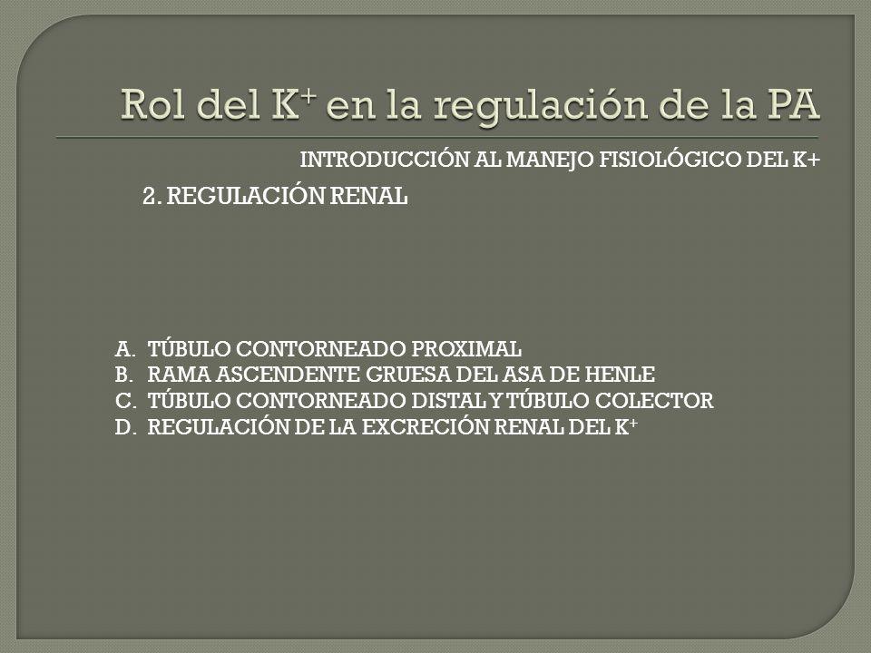 INTRODUCCIÓN AL MANEJO FISIOLÓGICO DEL K+ A.TÚBULO CONTORNEADO PROXIMAL B.RAMA ASCENDENTE GRUESA DEL ASA DE HENLE C.TÚBULO CONTORNEADO DISTAL Y TÚBULO