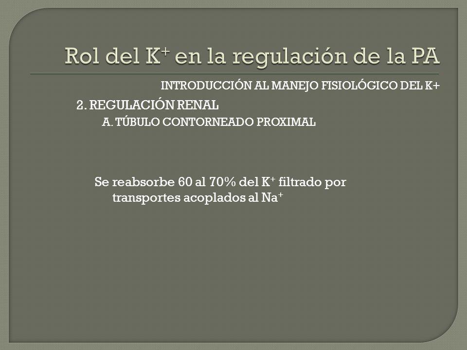 INTRODUCCIÓN AL MANEJO FISIOLÓGICO DEL K+ A. TÚBULO CONTORNEADO PROXIMAL 2. REGULACIÓN RENAL Se reabsorbe 60 al 70% del K + filtrado por transportes a