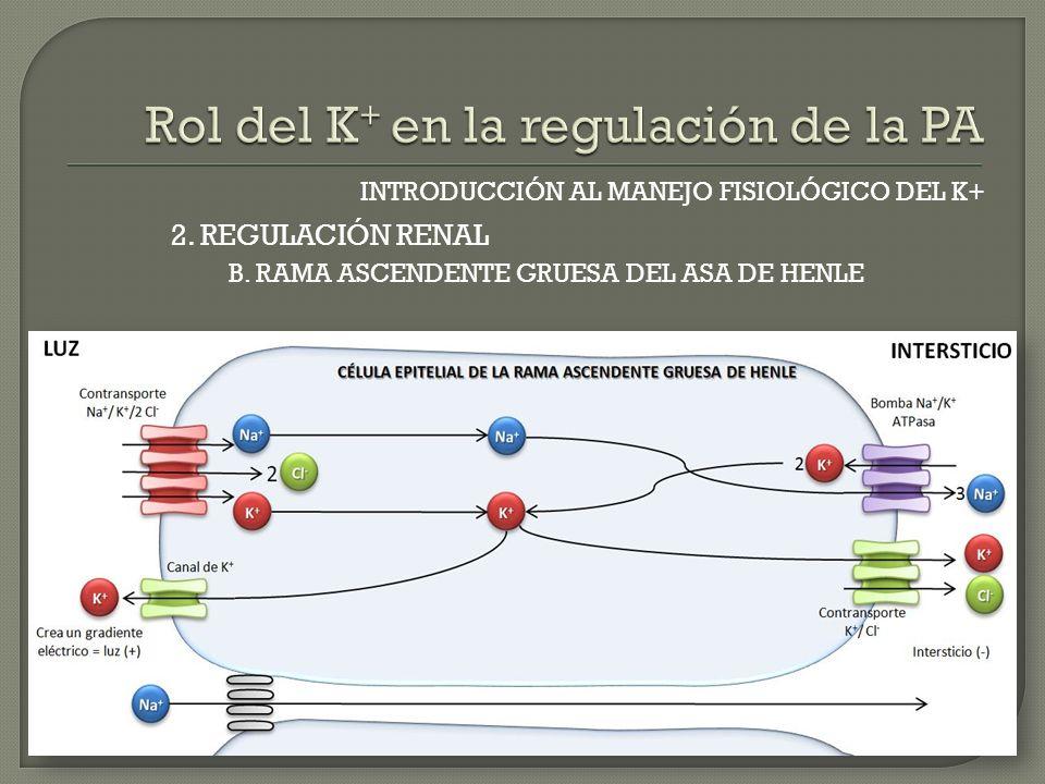 INTRODUCCIÓN AL MANEJO FISIOLÓGICO DEL K+ B. RAMA ASCENDENTE GRUESA DEL ASA DE HENLE 2. REGULACIÓN RENAL