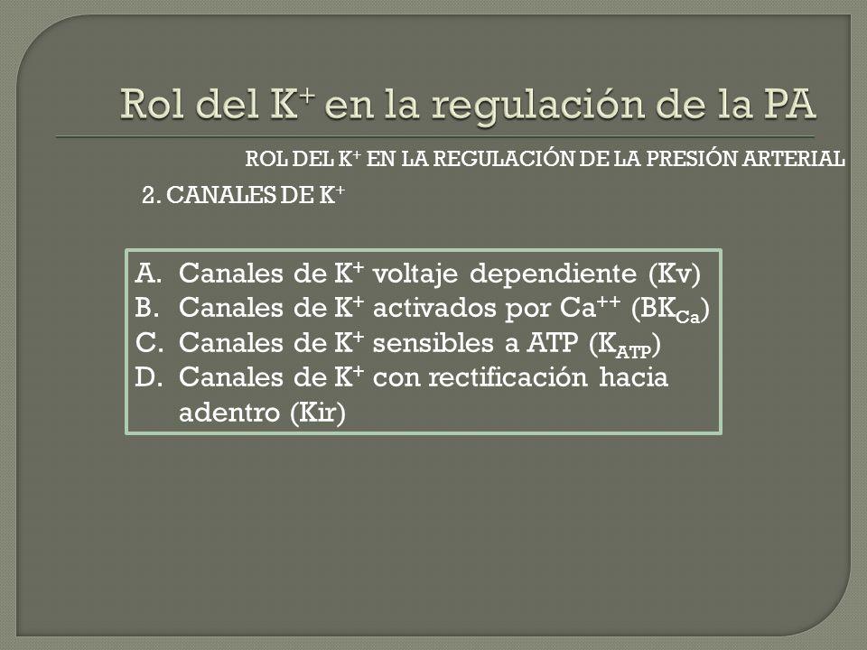 2. CANALES DE K + ROL DEL K + EN LA REGULACIÓN DE LA PRESIÓN ARTERIAL A.Canales de K + voltaje dependiente (Kv) B.Canales de K + activados por Ca ++ (