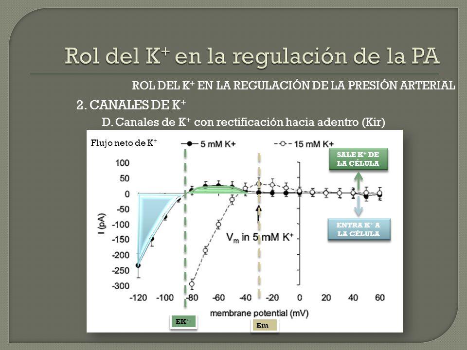 2. CANALES DE K + ROL DEL K + EN LA REGULACIÓN DE LA PRESIÓN ARTERIAL D. Canales de K + con rectificación hacia adentro (Kir) Flujo neto de K + SALE K