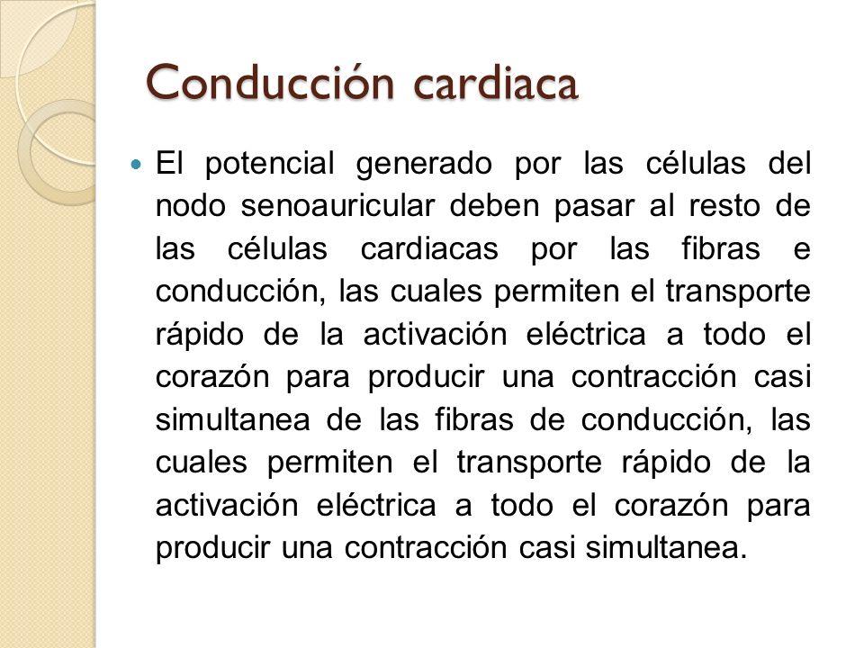 Conducción cardiaca El potencial generado por las células del nodo senoauricular deben pasar al resto de las células cardiacas por las fibras e conduc