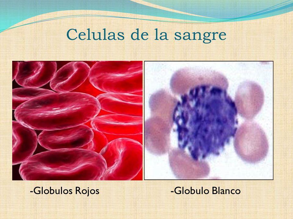 Celulas de la sangre -Globulos Rojos -Globulo Blanco