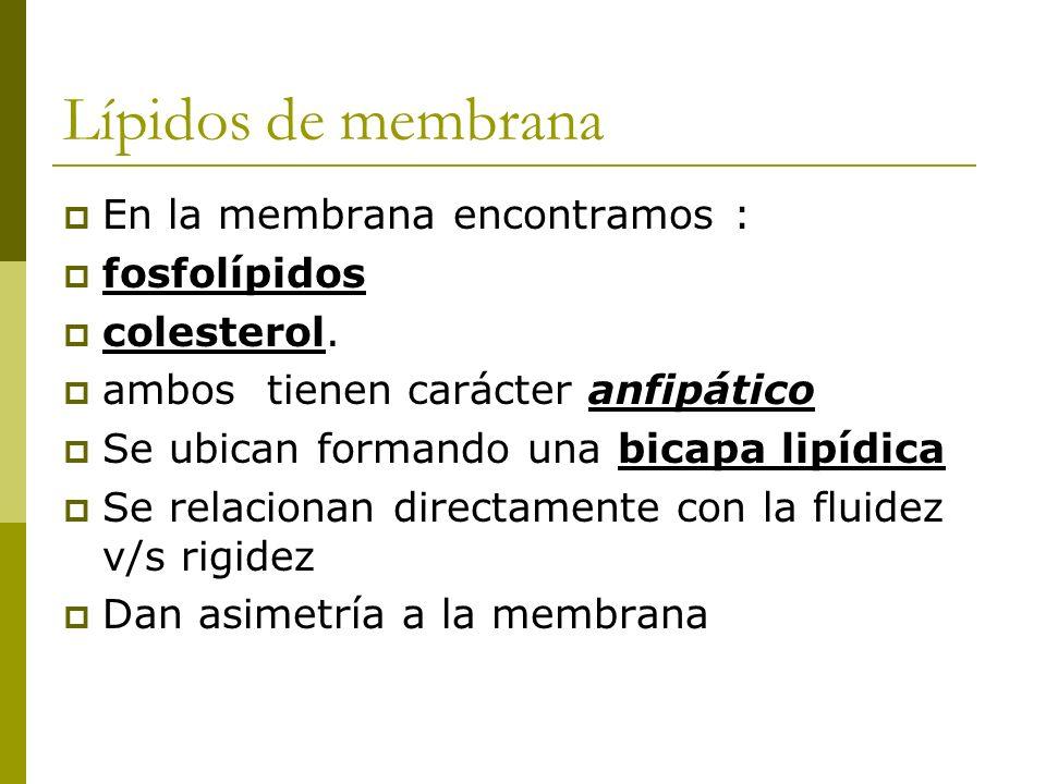 Lípidos de membrana En la membrana encontramos : fosfolípidos colesterol. ambos tienen carácter anfipático Se ubican formando una bicapa lipídica Se r