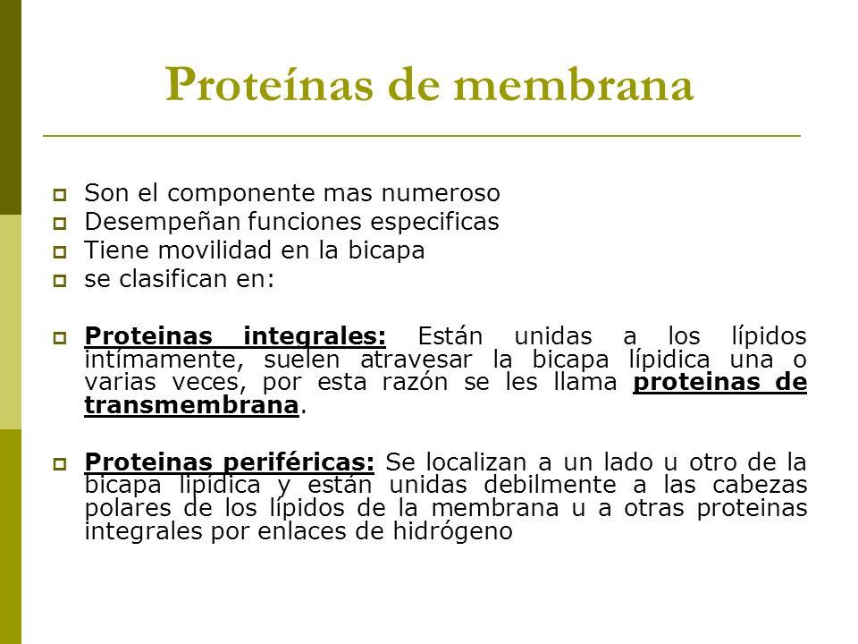Proteínas de membrana Son el componente mas numeroso Desempeñan funciones especificas Tiene movilidad en la bicapa se clasifican en: Proteinas integra