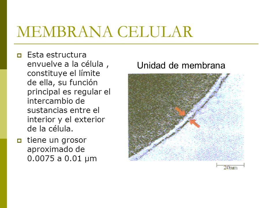 MEMBRANA CELULAR Esta estructura envuelve a la célula, constituye el límite de ella, su función principal es regular el intercambio de sustancias entre el interior y el exterior de la célula.