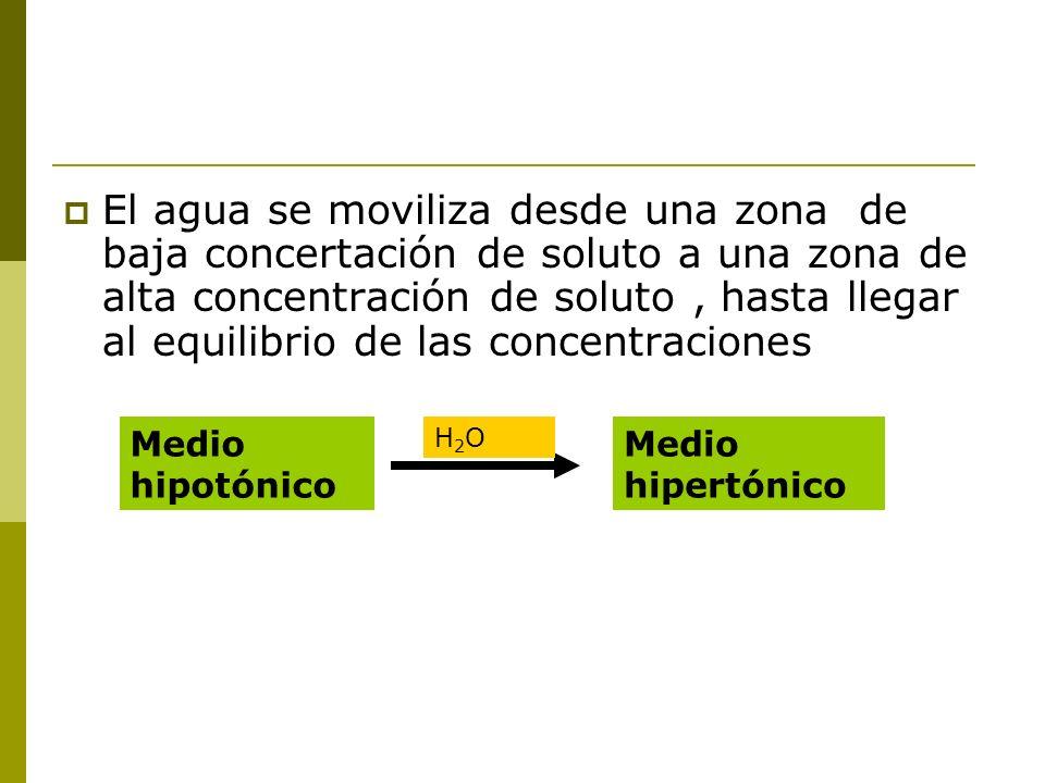 El agua se moviliza desde una zona de baja concertación de soluto a una zona de alta concentración de soluto, hasta llegar al equilibrio de las concen
