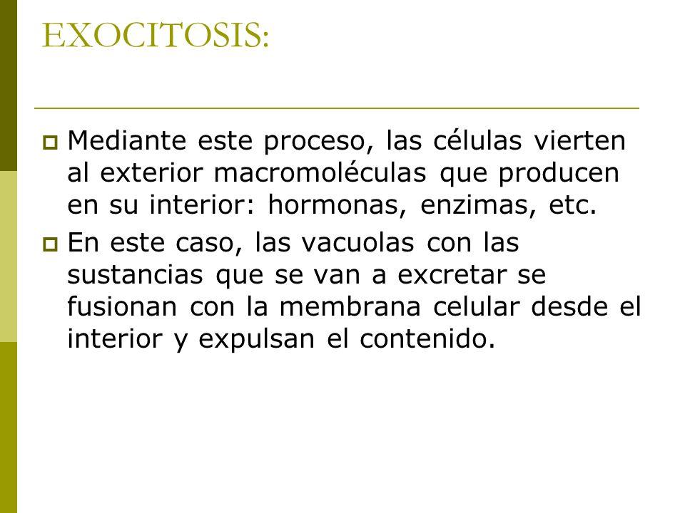 EXOCITOSIS: Mediante este proceso, las células vierten al exterior macromoléculas que producen en su interior: hormonas, enzimas, etc.