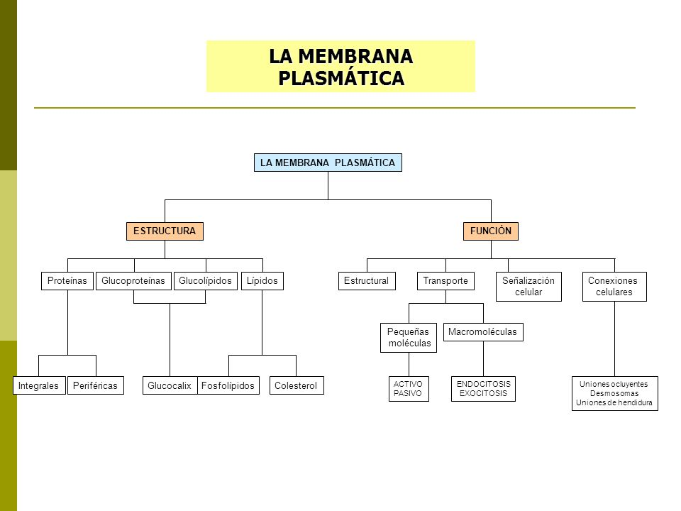 LA MEMBRANA PLASMÁTICA ESTRUCTURAFUNCIÓN LípidosProteínas IntegralesPeriféricas GlucoproteínasGlucolípidosEstructuralConexiones celulares Señalización celular Glucocalix LA MEMBRANA PLASMÁTICA Pequeñas moléculas Uniones ocluyentes Desmosomas Uniones de hendidura FosfolípidosColesterol Macromoléculas ACTIVO PASIVO ENDOCITOSIS EXOCITOSIS Transporte