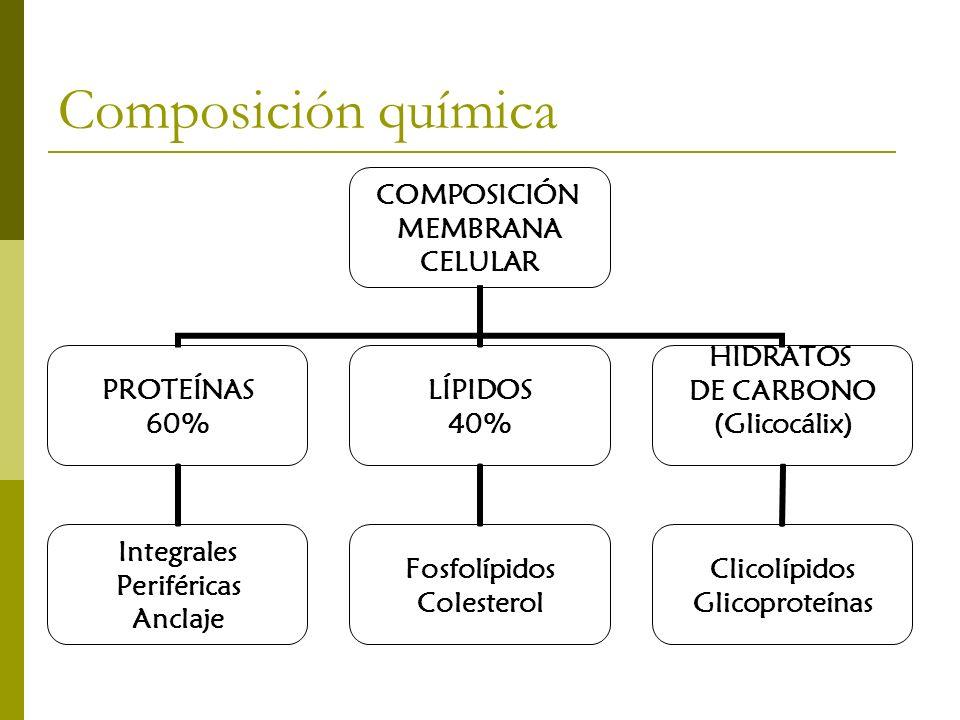 Composición química COMPOSICIÓN MEMBRANA CELULAR PROTEÍNAS 60% Integrales Periféricas Anclaje LÍPIDOS 40% Fosfolípidos Colesterol HIDRATOS DE CARBONO (Glicocálix) Clicolípidos Glicoproteínas
