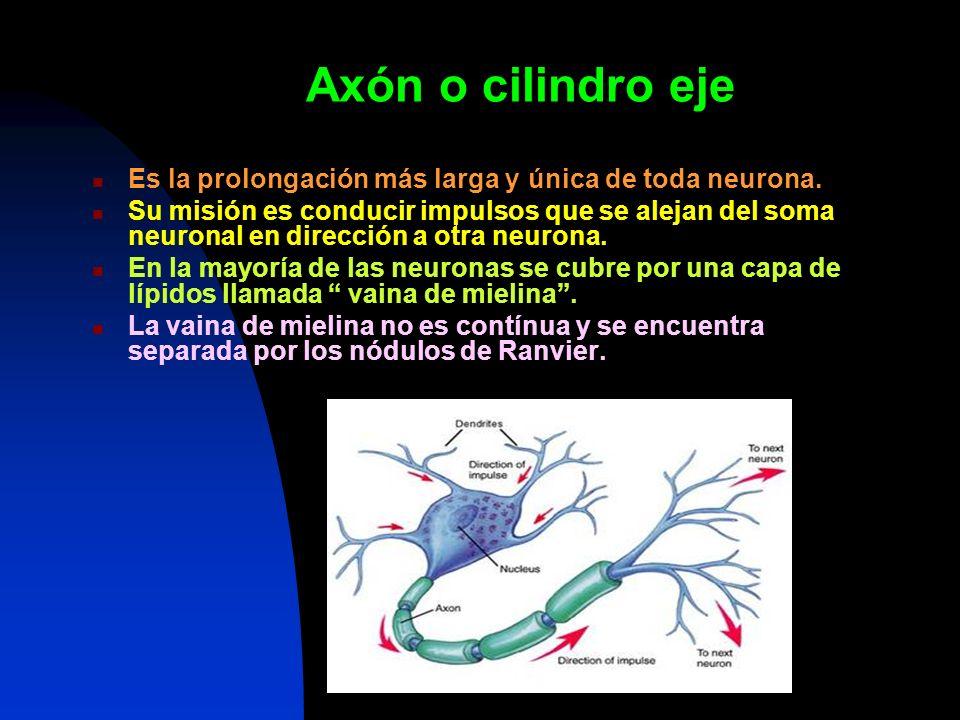 Axón o cilindro eje Es la prolongación más larga y única de toda neurona. Su misión es conducir impulsos que se alejan del soma neuronal en dirección