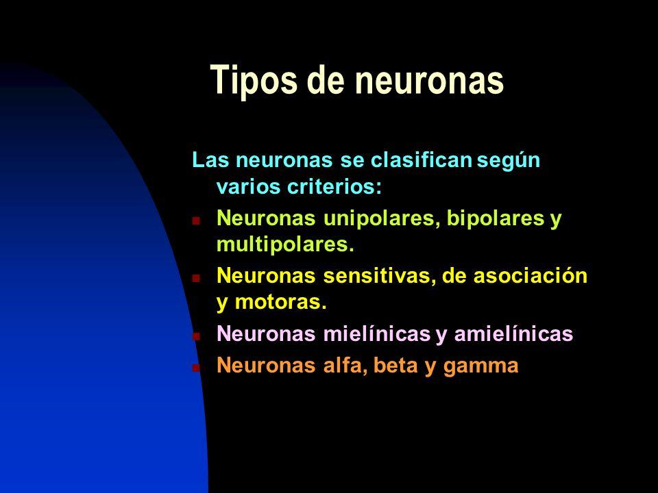 Tipos de neuronas Las neuronas se clasifican según varios criterios: Neuronas unipolares, bipolares y multipolares. Neuronas sensitivas, de asociación