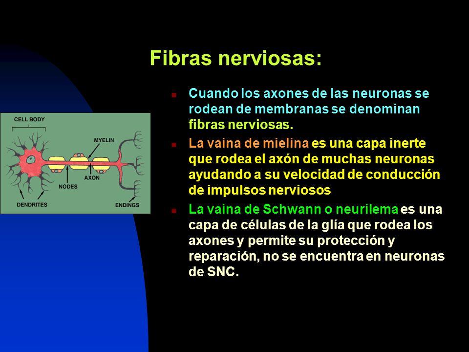 Fibras nerviosas: Cuando los axones de las neuronas se rodean de membranas se denominan fibras nerviosas. La vaina de mielina es una capa inerte que r