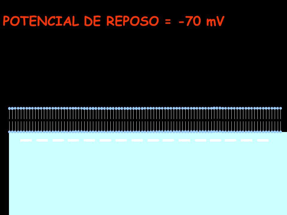 POTENCIAL DE REPOSO = -70 mV