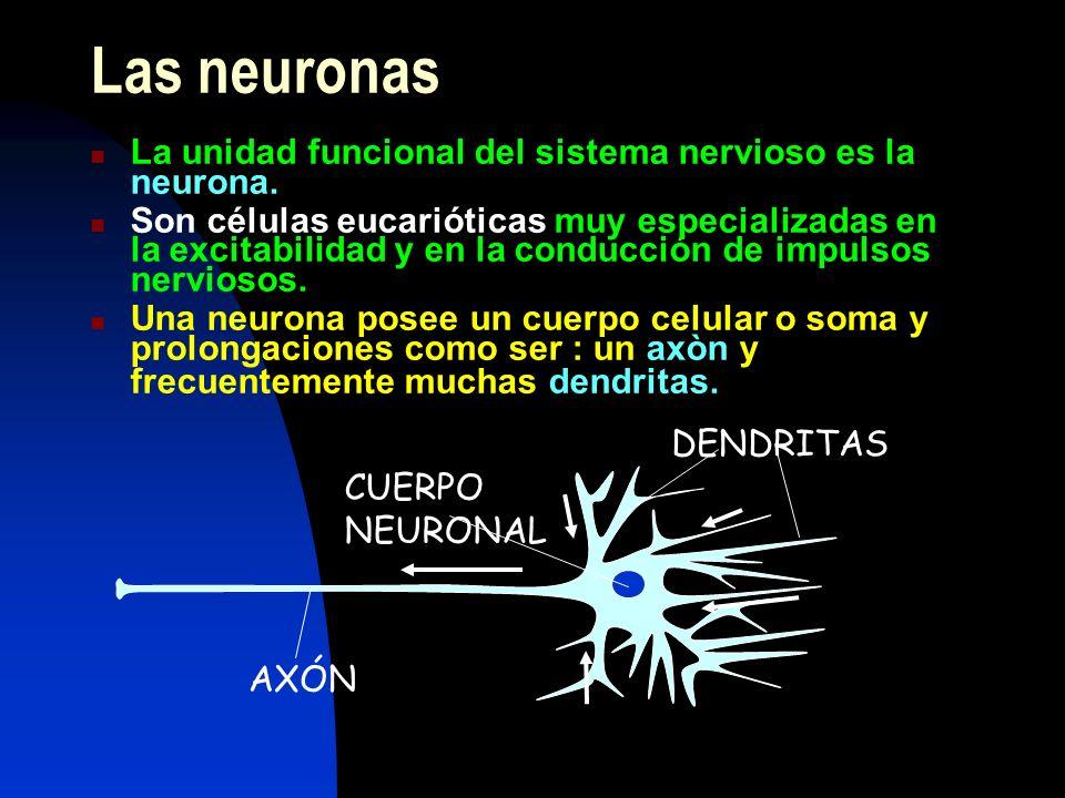 Las neuronas La unidad funcional del sistema nervioso es la neurona. Son células eucarióticas muy especializadas en la excitabilidad y en la conducció