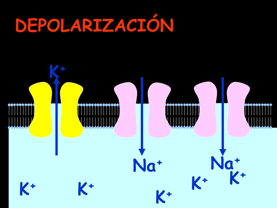 K+K+ K+K+ K+K+ K+K+ K+K+ K+K+ DEPOLARIZACIÓN Na +