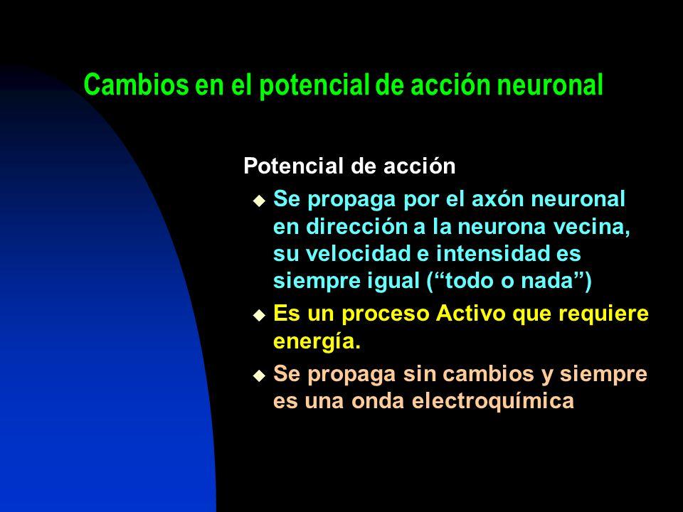 Cambios en el potencial de acción neuronal Potencial de acción Se propaga por el axón neuronal en dirección a la neurona vecina, su velocidad e intens