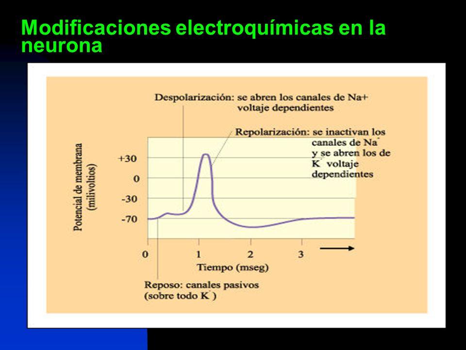 Hiperpolarización Modificaciones electroquímicas en la neurona