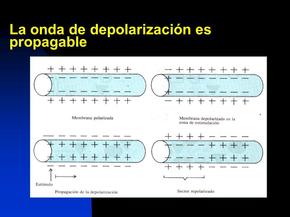 La onda de depolarización es propagable