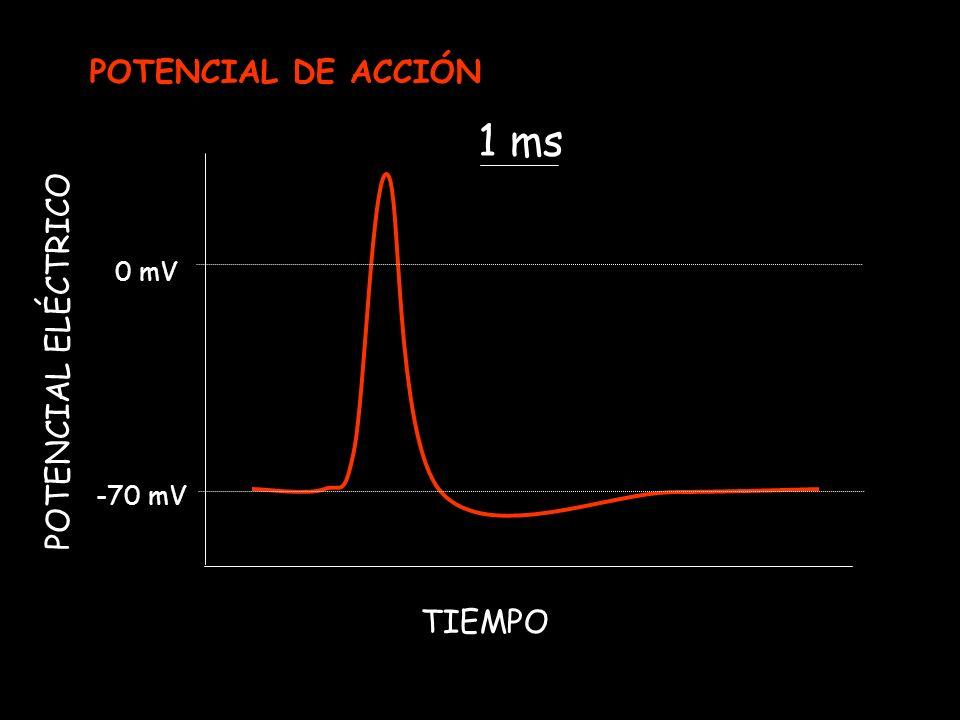POTENCIAL ELÉCTRICO -70 mV 0 mV TIEMPO 1 ms POTENCIAL DE ACCIÓN
