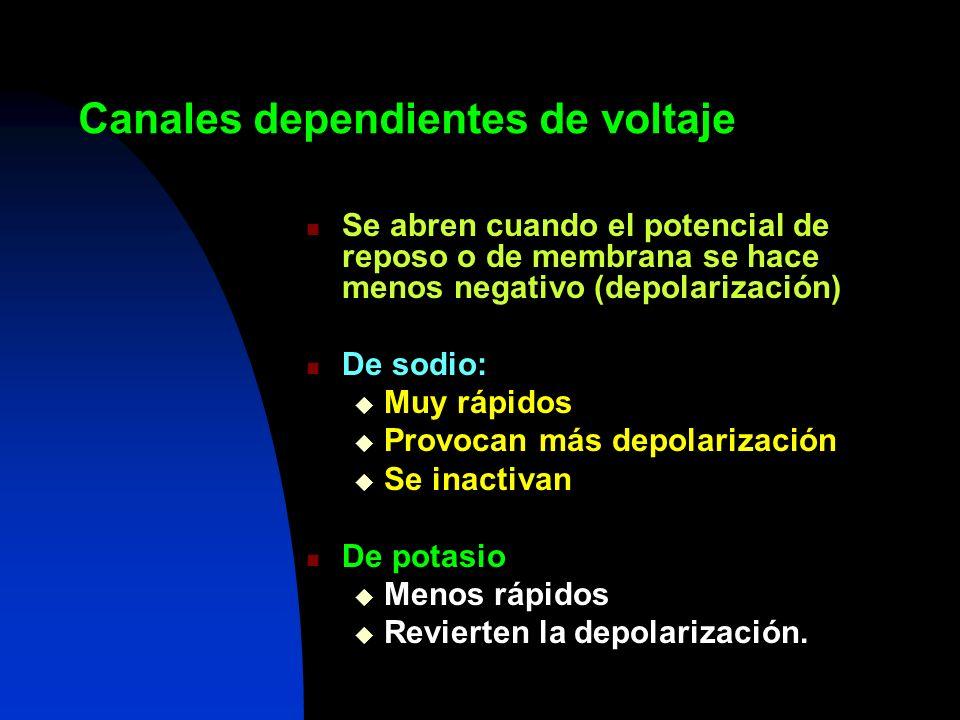 Canales dependientes de voltaje Se abren cuando el potencial de reposo o de membrana se hace menos negativo (depolarización) De sodio: Muy rápidos Pro