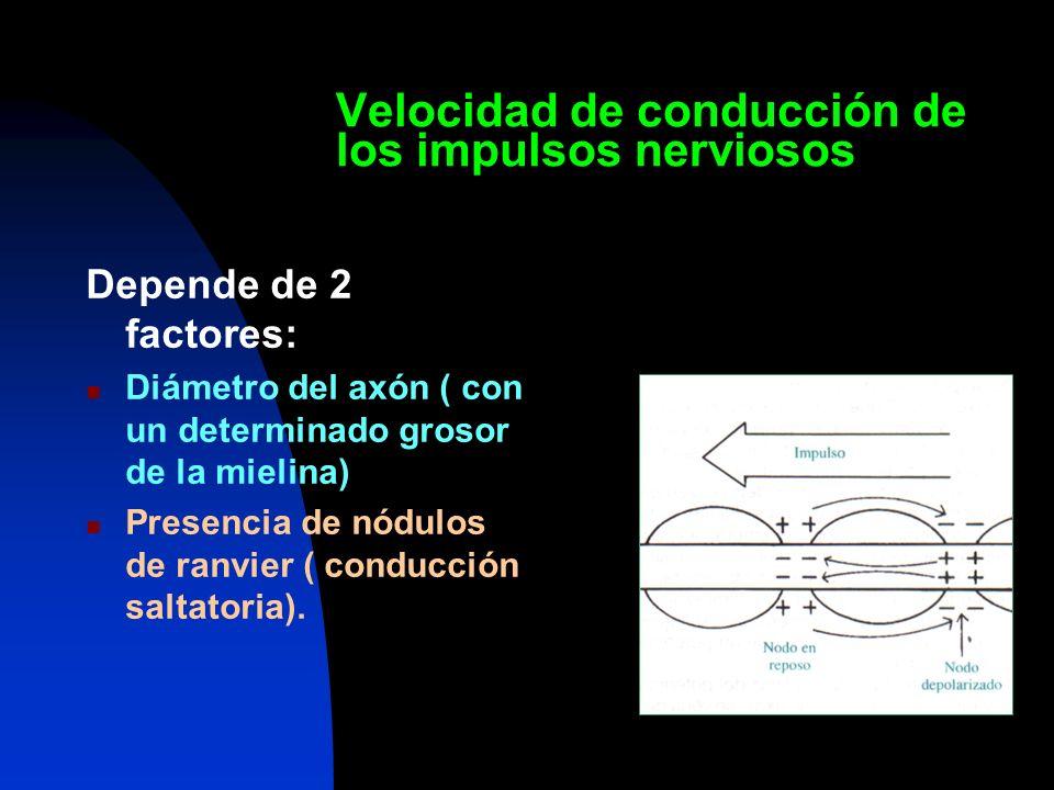 Velocidad de conducción de los impulsos nerviosos Depende de 2 factores: Diámetro del axón ( con un determinado grosor de la mielina) Presencia de nód