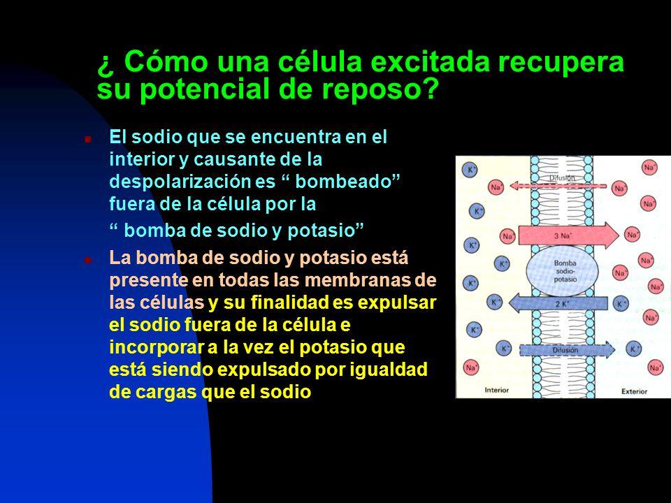 ¿ Cómo una célula excitada recupera su potencial de reposo? El sodio que se encuentra en el interior y causante de la despolarización es bombeado fuer