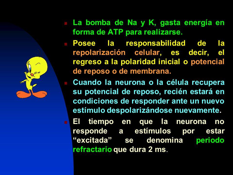 La bomba de Na y K, gasta energía en forma de ATP para realizarse. Posee la responsabilidad de la repolarización celular, es decir, el regreso a la po