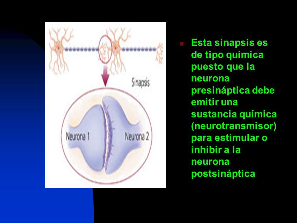 Esta sinapsis es de tipo química puesto que la neurona presináptica debe emitir una sustancia química (neurotransmisor) para estimular o inhibir a la