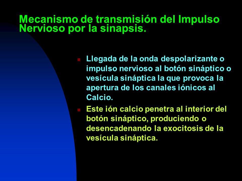 Mecanismo de transmisión del Impulso Nervioso por la sinapsis. Llegada de la onda despolarizante o impulso nervioso al botón sináptico o vesícula siná